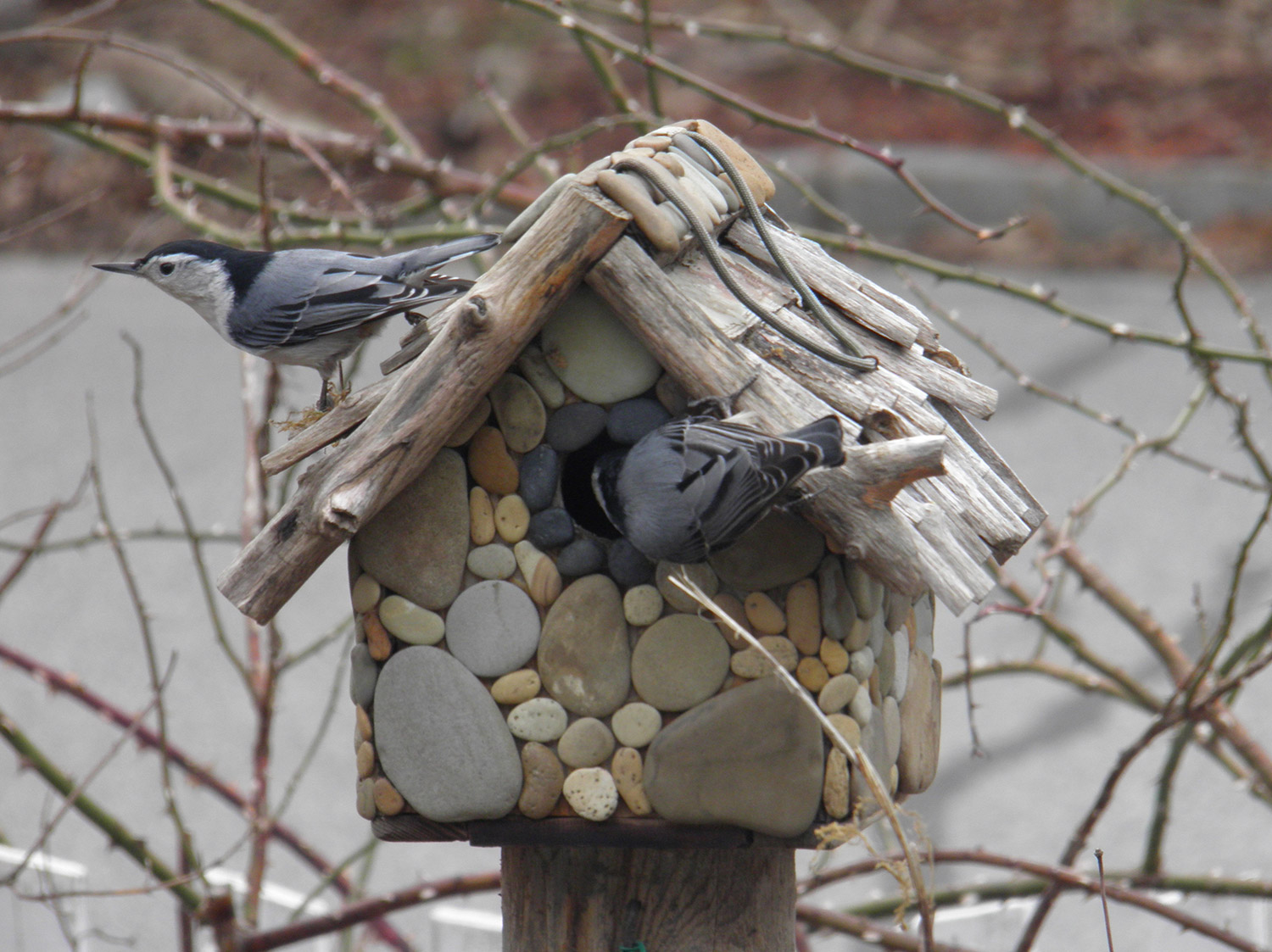 Easter Sunday was moving-in day for this pair of nuthatches in the garden of Jennifer Tuttle and David Kuchta on Whitney Avenue in Portland.