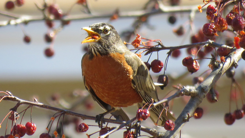 Surrounded by chokecherries, the robin has reasons aplenty to stay in Tina Richard's yard in Clinton.