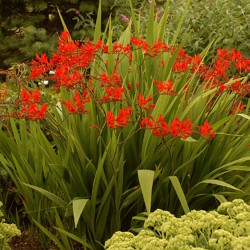 "Crocosmia ""Prince of Orange"""