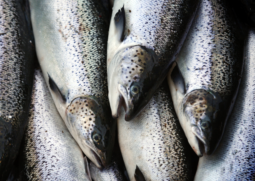 Maine 39 s salmon population could take 75 years to recover for Fish farms near me