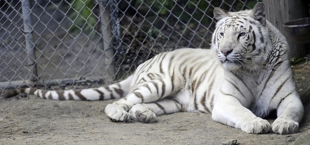 """Makeena, a female tiger, is one of more than 200 animals now living at DEW Haven. The acronym stands for """"domestic, exotic and wild."""""""
