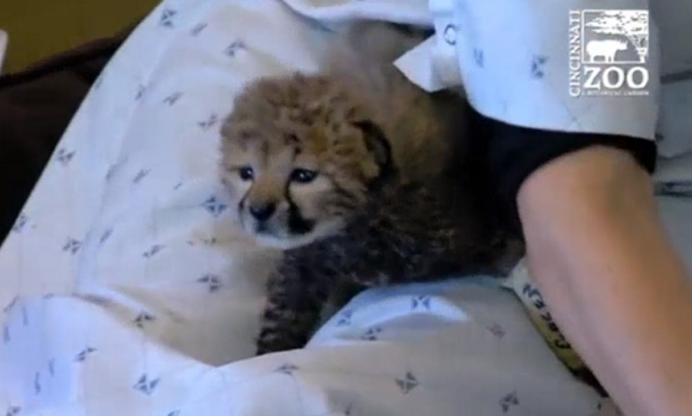 A lone cheetah cub from Oregon will join four others at a zoo in Cincinnati.