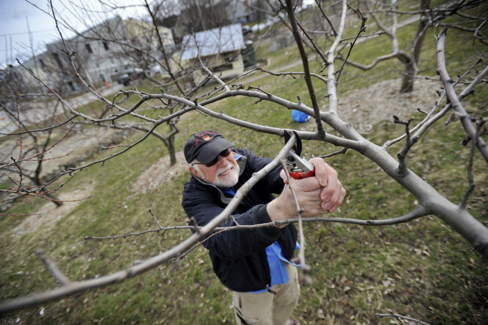Waite Maclin prunes an apple tree at Boyd Street Urban Farm's orchard in Portland's Kennedy Park.