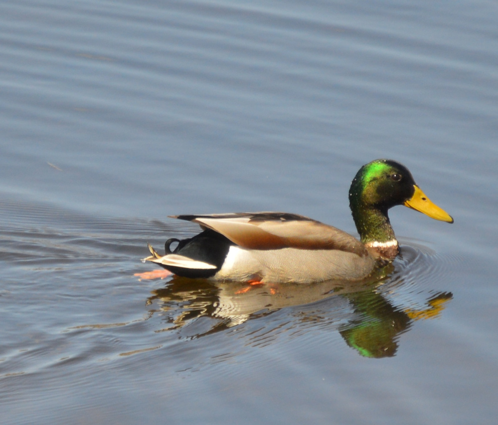 Something appetizing must be below the surface of this pond near the Portland International Jetport, as the mallard goes head over heels – or maybe heels over head – while Brian Lovering of North Yarmouth watched and enjoyed a lunch of his own from shore.