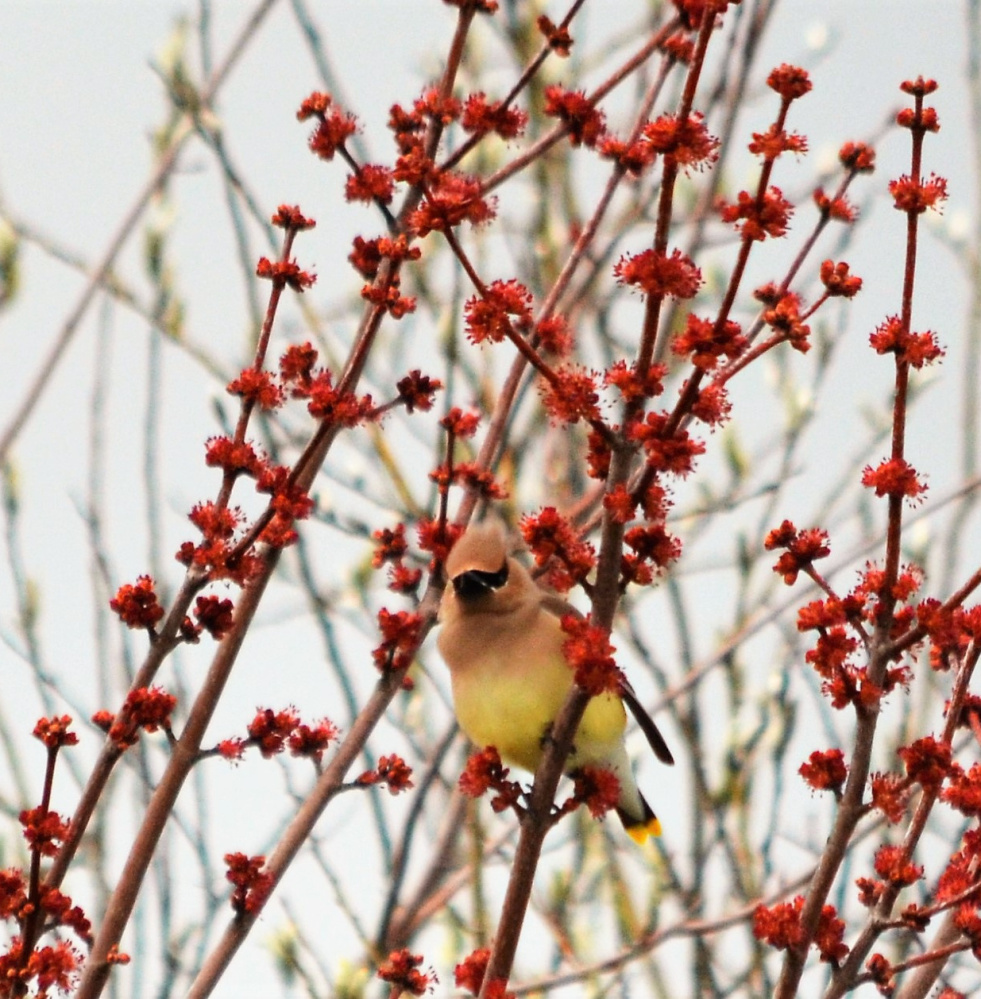 Waxwings are always welcome in Kelly Mull's Scarborough yard.