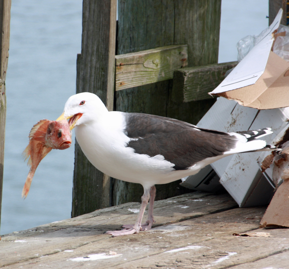 Diann Longstreet of Georgetown caught this seagull in the act of raiding bait boxes left behind at Five Islands Dock in Georgetown.