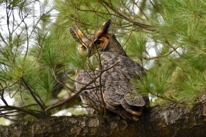 Seth M. Davis, a research associate in the College of Pharmacy at the University of New England, took these photos of a great horned owl and one of its two owlets nesting in a cemetery on the UNE campus in Biddeford. There were two adults and two owlets, says Davis, but one of the owlets fell out of the tree and was rescued by Avian Haven.