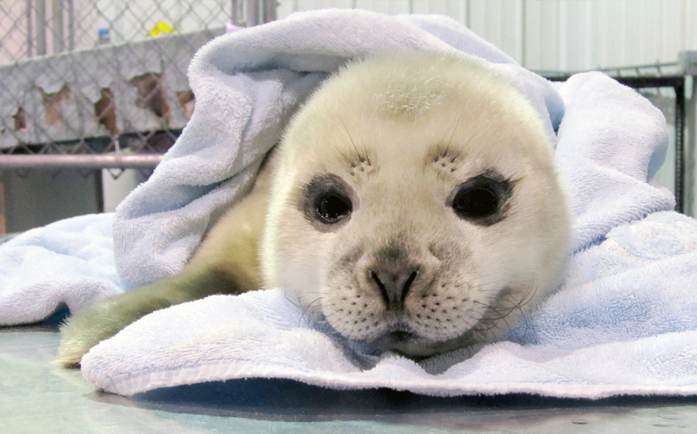 Marine Mammals of Maine recently treated this harbor seal pup at its new triage center in Harpswell. The baby seal was transferred to an out-of-state rehabilitation center last week.