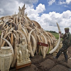 A Kenya Wildlife Service ranger stacks ivory that will be torched Saturday to highlight the plight of elephants, whose destruction is putting them on a path to extinction.