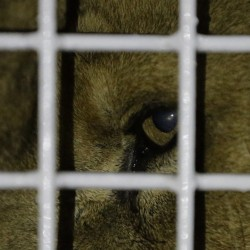 A former circus lion peers from inside a cage on arrival Saturday in Johannesburg.