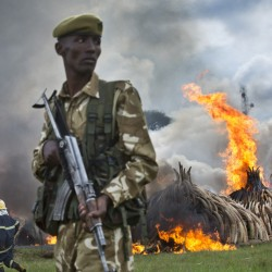 "A ranger from the Kenya Wildlife Service stands guard as pyres of ivory are set on fire in Nairobi National Park on Saturday to protest the poaching of ivory. Kenyan president Uhuru Kenyatta lit the flame representing the tusks of more than 8,000 elephants, saying that ""ivory is worthless unless it is on our elephants."""
