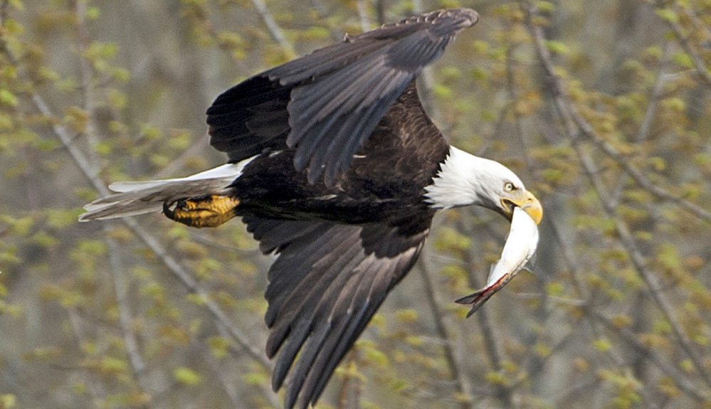With fishing good on the Sebasticook River and other Maine waterways, the state's once-sparse bald eagle population is thriving. 2014 Morning Sentinel file photo/Michael G. Seamans