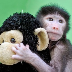 APRIL 28: A 23-day-old hamadryas baboon plays with a stuffed toy at Sri Chamarajendra Zoological Gardens in the southern Indian city of Mysuru. The baboon was abandoned by its mother after its birth on April 4,  according to a zoo doctor.