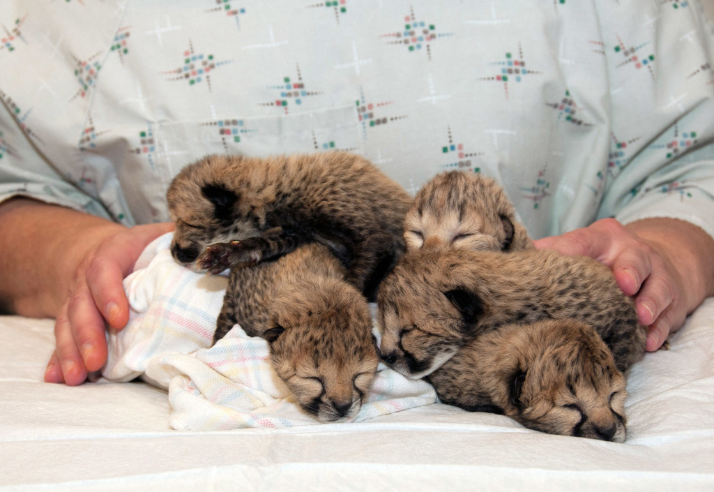 Five cheetah cubs were born March 8 during a rare Caesarean section at the zoo in Cincinnati. One of the cubs has since died, as has the mother. Another cub from Oregon is joining them.