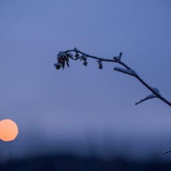A frost covered plant is seen during the pre-dawn hours in Allagash as temperatures hovered near -10.