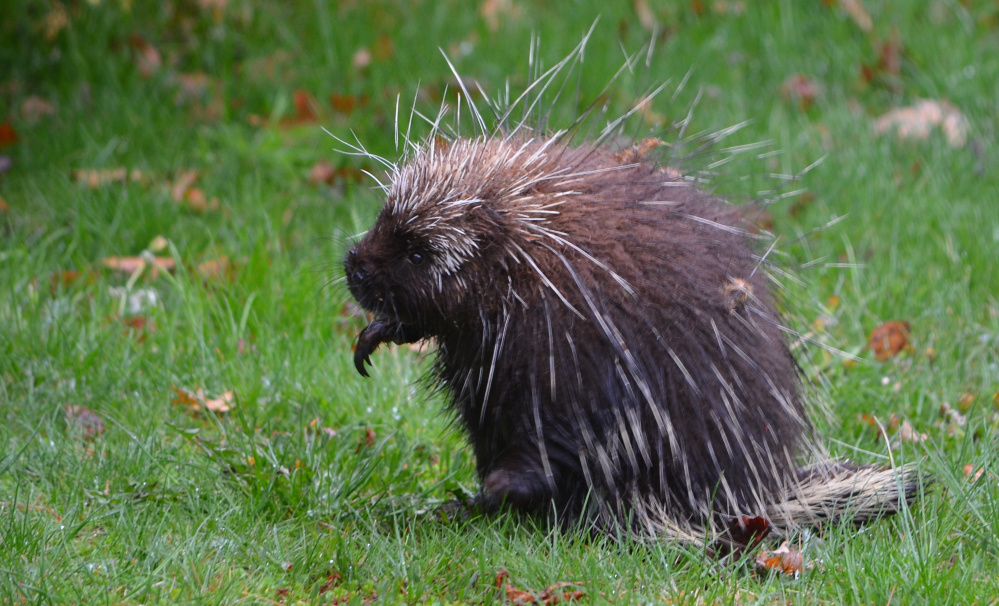 Paul Wells of West Kennebunk spied this porcupine waddling through his yard this past Tuesday morning, apparently not bothered by rain that soon turned to snow.