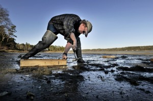 "Brian Beal, a shellfish biology expert at the University of Maine at Machias, places ""Beal boxes"" in the mud flats of Freeport late last month in an ongoing study of predation on young clams. Beal believes the way forward for the fishery is for humans to actively protect the resource."