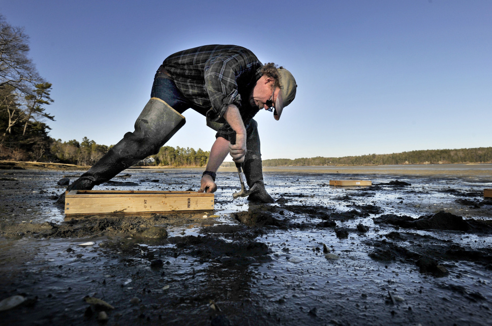 """Brian Beal, a shellfish biology expert at the University of Maine at Machias, places """"Beal boxes"""" in the mud flats of Freeport late last month in an ongoing study of predation on young clams. Beal believes the way forward for the fishery is for humans to actively protect the resource."""