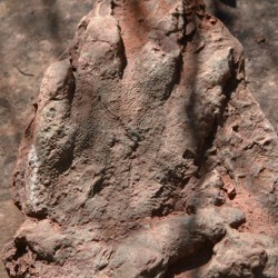 This 230 million-year-old footprint is believed to be from a reptile-like creature called an Isochirotherium.