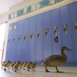 Vanessa the duck leads her offspring through the halls of the Village Elementary school in Hartland, Mich. It is the 13th year Vanessa has trekked through the halls.