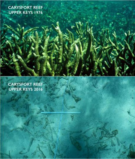This two-picture combo provided by the University of Miami, top, and Chris Langdon, shows the Carysfort Reef in Florida in 1976 and 2016. Increasingly acidic seawater from global warming is now dissolving a tiny part of the limestone framework for delicate coral reef in the upper Florida Keys.
