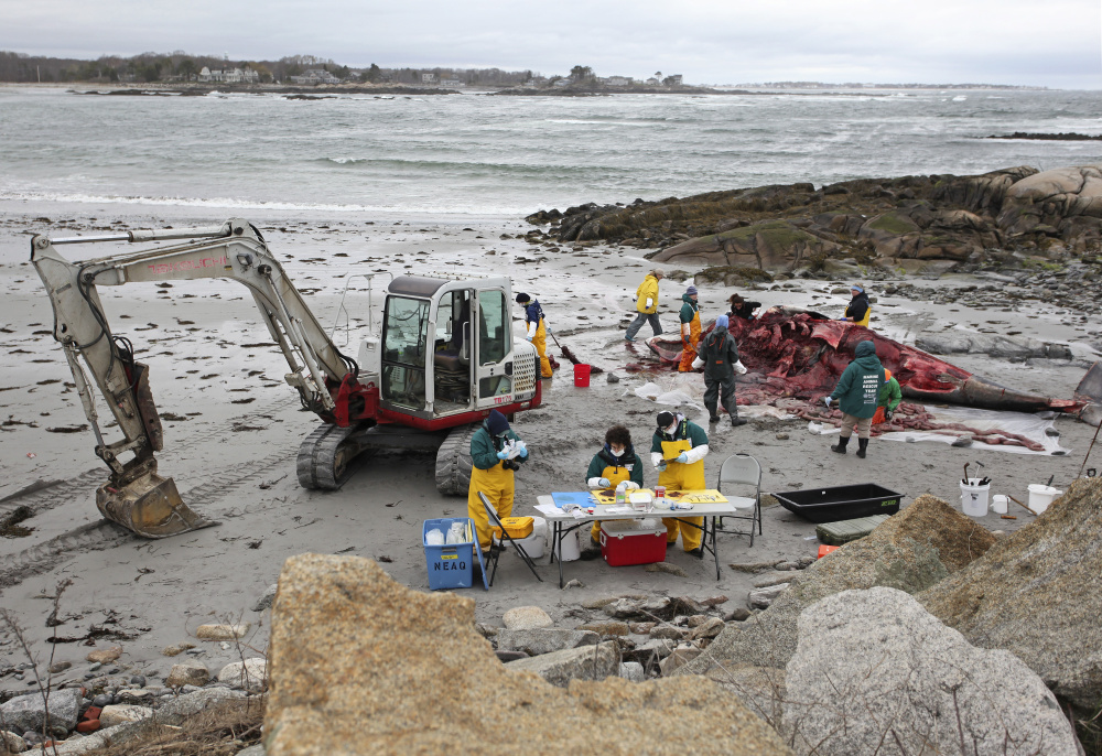The air was filled with a pungent odor around the carcass of a minke whale, and volunteers wore masks, gloves and oilskins as they cut away portions of the animal for study Thursday.