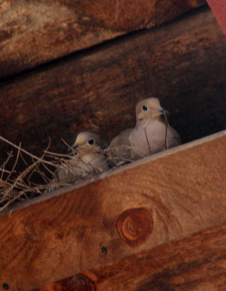 Bruce Small of Raymond spied these two mourning doves, who found some shelter of their own in the eaves of a barn in Gray.
