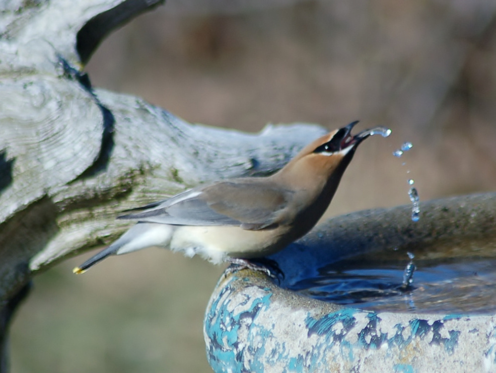 A cedar waxwing stops for a drink at Pine Point where Chris MacKenzie managed to get this photo.