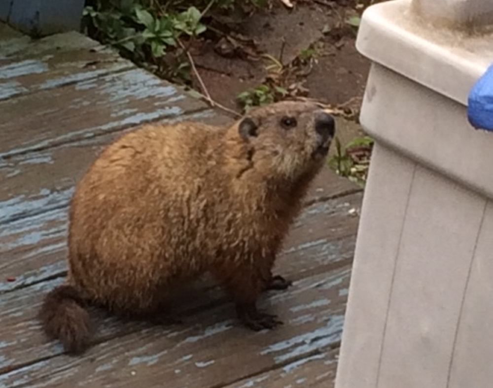 How much wood ... OK, enough of that. This woodchuck has been hanging around in Saco, and was noticed by Sharon Sevigny who thinks food would be much more welcome than wood for this regular visitor.