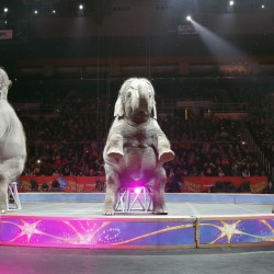 Asian elephants perform for the final time in the Ringling Bros. and Barnum & Bailey Circus on Sunday in Providence, R.I. The animals will live at the 200-acre Center for Elephant Conservation in central Florida.
