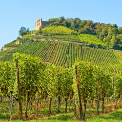 More and more German vineyards are producing rieslings that are fully dry.