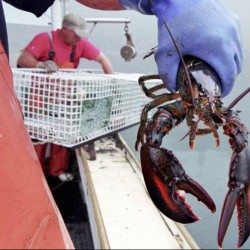 "Warming waters have been driving the lobster population father north, and ""unless something changes in terms of ocean temperature trends, the Gulf of Maine will not likely remain a great place for high lobster abundance,"" says University of Maine researcher Robert Steneck."