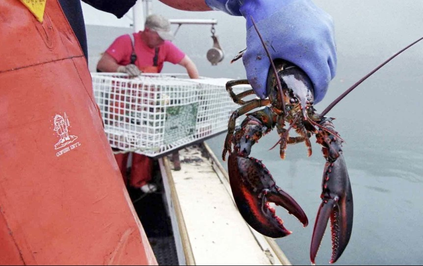 """Warming waters have been driving the lobster population father north, and """"unless something changes in terms of ocean temperature trends, the Gulf of Maine will not likely remain a great place for high lobster abundance,"""" says University of Maine researcher Robert Steneck."""