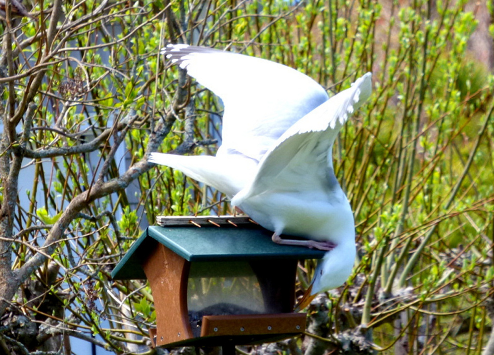 Maybe this is a squirrel-proof birdfeeder, but this is a whole different challenge. Brad Woodward of Old Orchard Beach saw this herring gull looking for a meal in an unusual place.