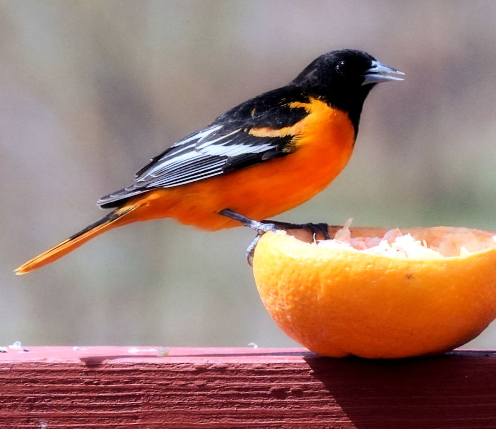 A day without orange juice is like a day without sunshine, as the old commercial used to say, and this oriole would agree as it returns to the Saco backyard of William Plante for a daily dose of Vitamin C.