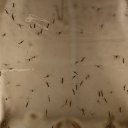 Aedes Albopictus mosquitoes fly around in a secured U.S Department of Agriculture lab in Manhattan, Kansas. The mosquitoes are part of the USDA's high school pilot program which relies on students to set mosquito traps that will help improve official mosquito maps.