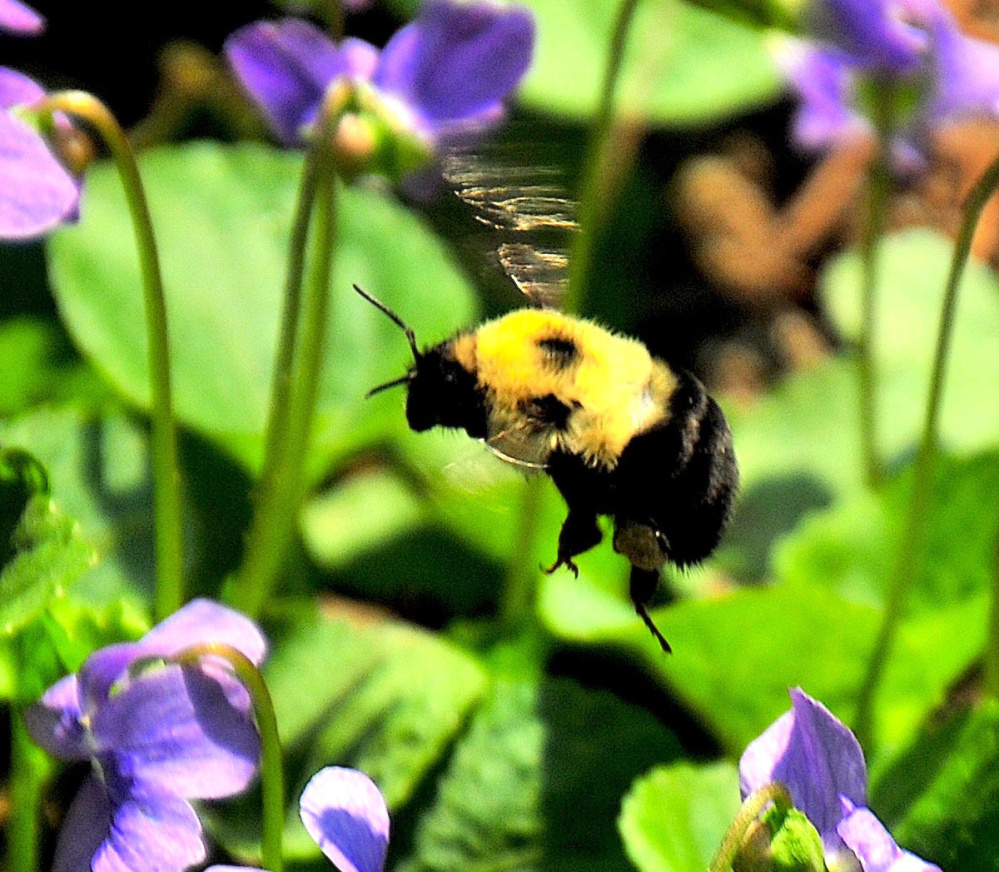 A patch of violets at Erik Bartlett's home in South Casco are visited by a lone bumblebee looking for some nectar.