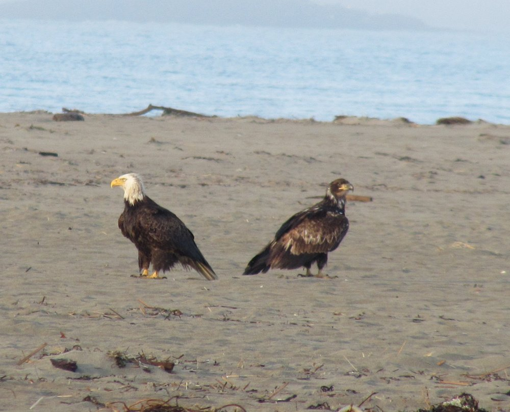 Oliver Andrews of Phippsburg was taking his daily morning walk at Popham Beach recently when he encountered a convocation of eagles. Andrews counted four mature adults and eight yearlings in the group.