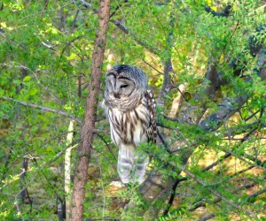 After several nights of making its presence known with its hooting, this barred owl made a morning appearance at the home of Bill Preis on Merryfield Cove in Bridgton. The owl perched itself in a tree, but according to Preis, it didn't seem interested in the gray squirrels that are regular visitors to the property.
