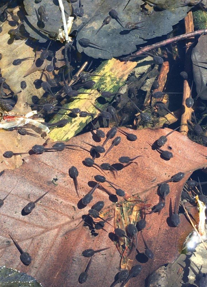 Tadpoles were out in force last Sunday at the Bowdoin home of Jim Moulton.