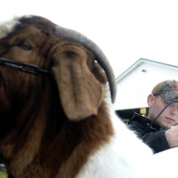 Shawn Mills of Augusta grooms a Boer goat before exhibiting it at the New England Livestock Expo in Windsor on Sunday.