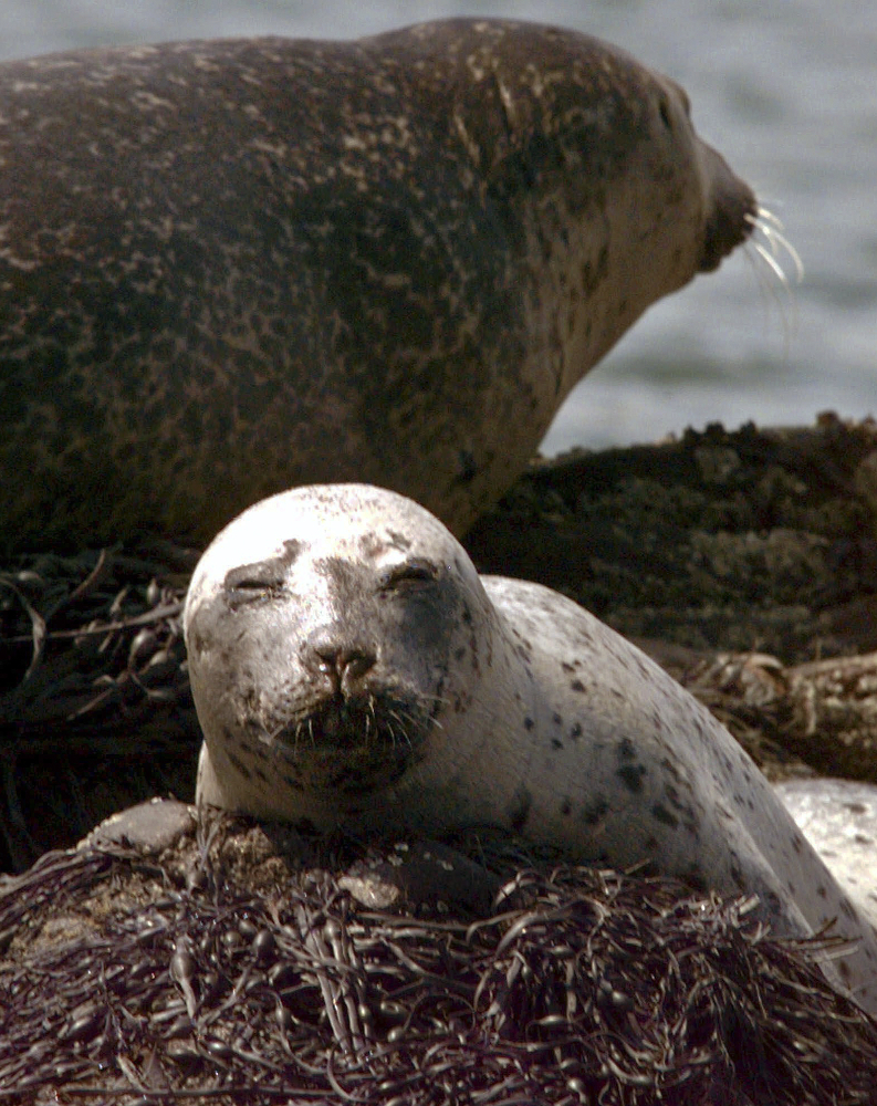 A young harbor seal lounges on top of seaweed that covers partially submerged Cedar Ledge near Cundy's Harbor, Maine. New England beachgoers are asked to resist any temptation to take a selfie with a cute little seal pup because it can put both people and the animals at risk.