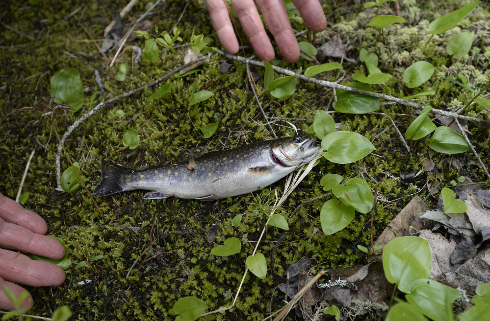 Randy Clark of Dresden inspects a trout he caught in a brook in the Schoodic Peninsula area. Shawn Patrick Ouellette/Staff Photographer