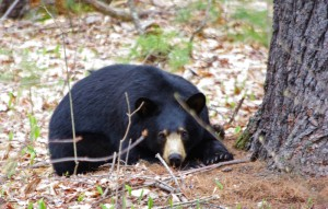 Hibernation season is long over, but this black bear still readies for a nap while Wendy Holmes of Center Conway, New Hampshire, keeps a prudent distance with her camera. Bears have been active this spring in the North Conway area, she says.
