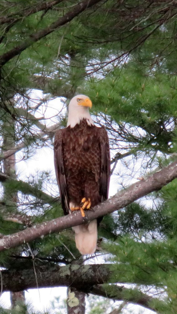 An eagle is on the lookout from a pine tree at Lake Estes in Alfred. Cathy Wilkie Conley suspects that it's the same eagle that visited last year.