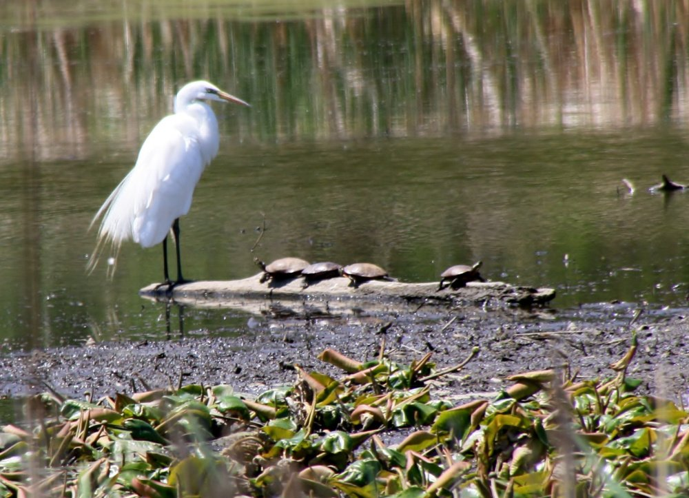 With the water level lower than usual at Capisic Pond in Portland, an egret finds a log on which to roost and is joined by several turtles. Photo by Bruce Small of Raymond.