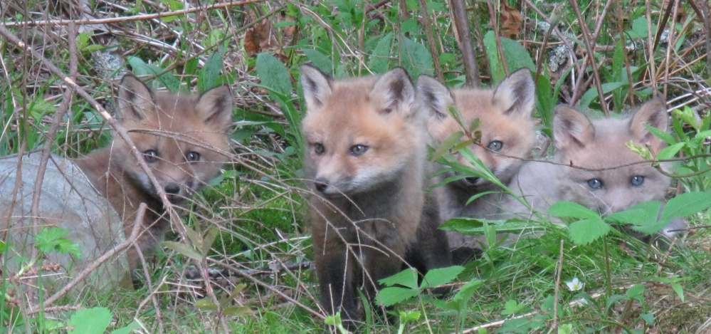 Cathy Hart encountered four fox kittens last Sunday during a walk in Deer Isle. She said the cute critters watched her for a long time and then started romping in the grass and crossing back and forth across the dirt road.
