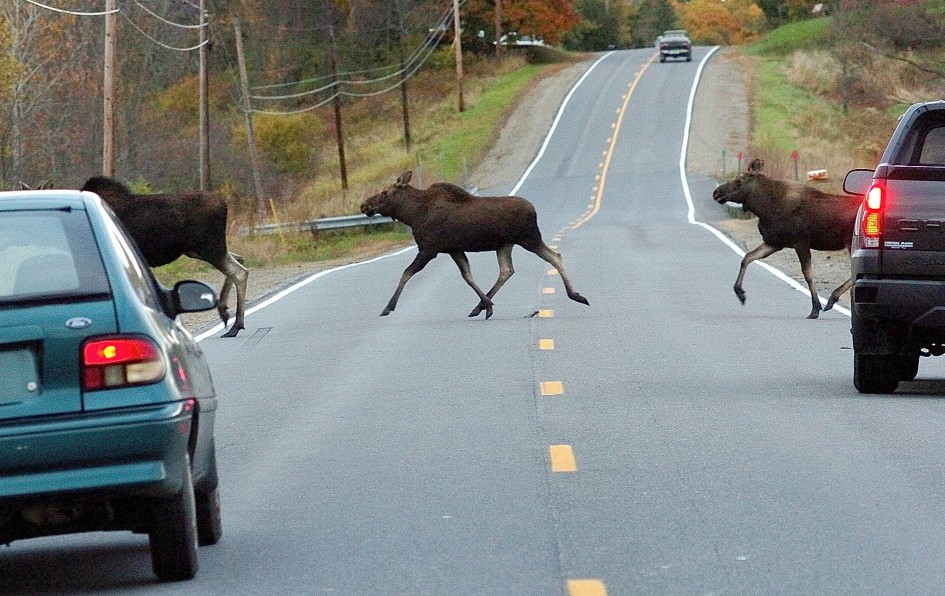 In the years of the Maine Audubon road watch study, 2010-2014, there were six human fatalities in crashes involving moose, according to the Maine Department of Transportation.