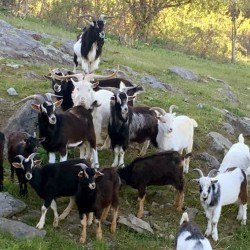 The MSPCA-Nevins Farm in Methuen, Mass., has taken in nearly 50 goats voluntarily turned over by an owner in Montague, Mass., who couldn't handle the growing herd. The rescue farm is overloaded.