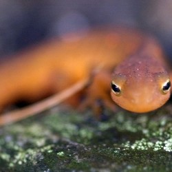 A spotted newt